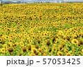満開の向日葵 やまもとひまわり祭り 宮城山元 57053425