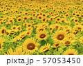 満開の向日葵 やまもとひまわり祭り 宮城山元 57053450