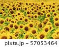 満開の向日葵 やまもとひまわり祭り 宮城山元 57053464