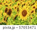 満開の向日葵 やまもとひまわり祭り 宮城山元 57053471