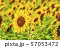 満開の向日葵 やまもとひまわり祭り 宮城山元 57053472
