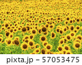 満開の向日葵 やまもとひまわり祭り 宮城山元 57053475