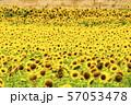 満開の向日葵 やまもとひまわり祭り 宮城山元 57053478