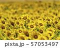 満開の向日葵 やまもとひまわり祭り 宮城山元 57053497