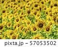 満開の向日葵 やまもとひまわり祭り 宮城山元 57053502