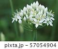 ニラの花 57054904