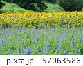 夏の花 ヒマワリとラベンダー 57063586