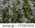 Winter crops wheat sprouts in spring time ice 57082938