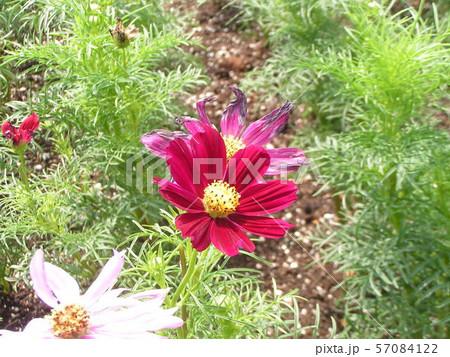 三陽メデアフラワーミュージアムに咲き始めた白と赤色のコスモスの花 57084122