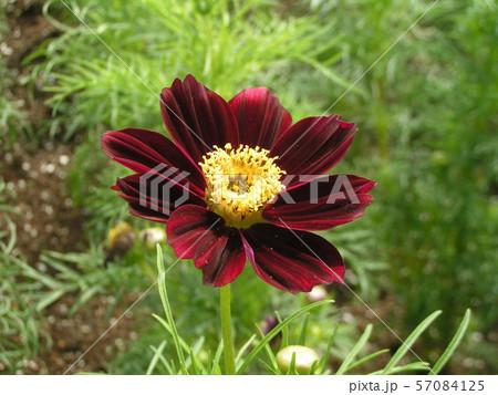 三陽メデアフラワーミュージアムに咲き始めた黒赤色のコスモスの花 57084125