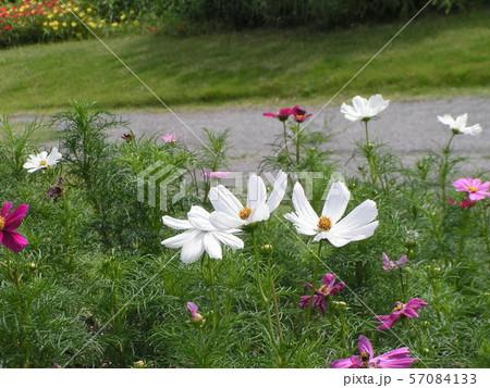 三陽メデアフラワーミュージアムに咲き始めた白色のコスモスの花 57084133