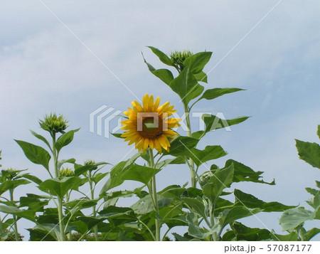 夏の花といえば黄色いヒマワリ 57087177
