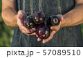 Farmer's hands are holding a few ripe appetizing eggplants. Vegetables from your garden 57089510