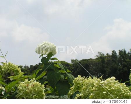 ハイドランジアアナベルというアジサイの白い花と青い空と白い雲大きいきれいな花アジサイに白い花 57090145