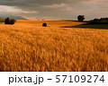 北海道・美瑛の丘 夕暮れの麦畑 57109274