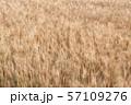 北海道・美瑛 風に揺れる麦畑 57109276