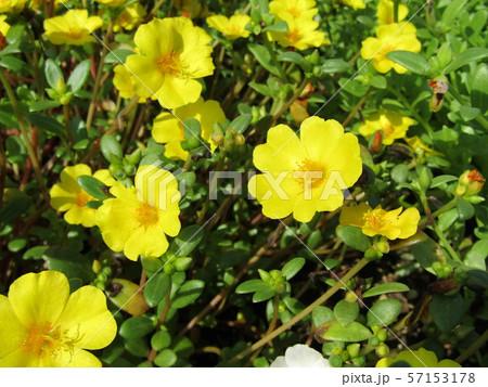 ポーチュラカの黄色の花 57153178