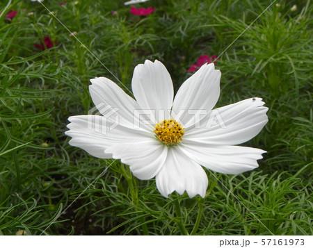 秋の花コスモスの白い花 57161973