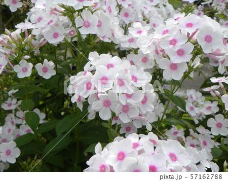 """フロックス パニキュラータ""""ノーラレイの綺麗な花 57162788"""