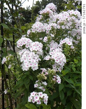 """フロックス パニキュラータ""""ノーラレイの綺麗な花 57162791"""