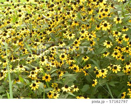 ヒマワリの小さい花のようなルドベキアの黄色い花 57162797