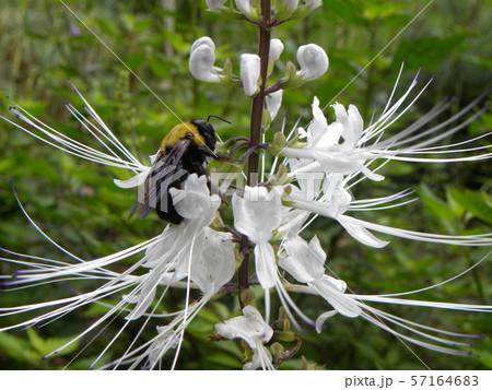 ネコノヒゲとも呼ばれるキャッツウィスカーは白い花とクマンバチ 57164683