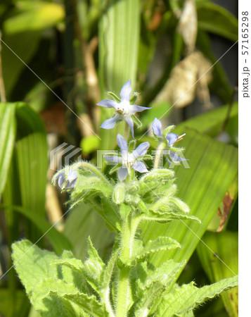 青い星型の花はボリジの花 57165298
