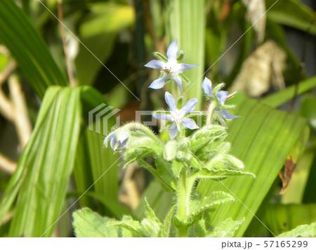 青い星型の花はボリジの花 57165299