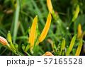 花 フラワー お花 57165528