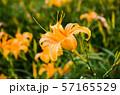 花 フラワー お花 57165529