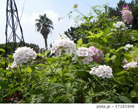 """フロックス パニキュラータ""""ノーラレイの綺麗な花 57165906"""