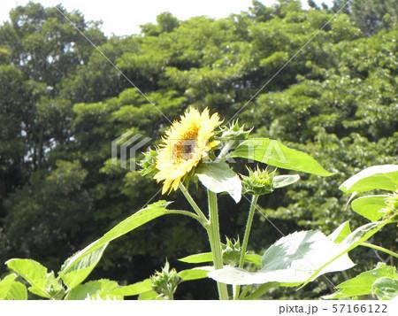 夏の花といえば黄色いヒマワリ 57166122