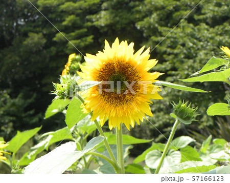 夏の花といえば黄色いヒマワリ 57166123