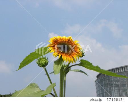 夏の花といえば黄色いヒマワリ 57166124