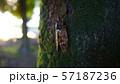 木に止まる蝉 57187236