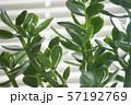観葉植物 金のなる木 57192769