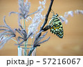 Lime butterfly or papilio demoleus butterfly are 57216067