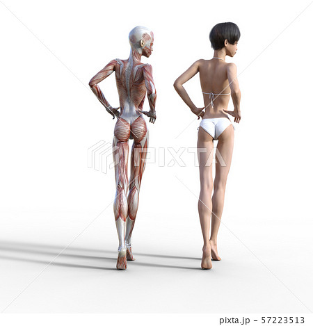 女性 解剖 筋肉 perming3DCG イラスト素材 57223513