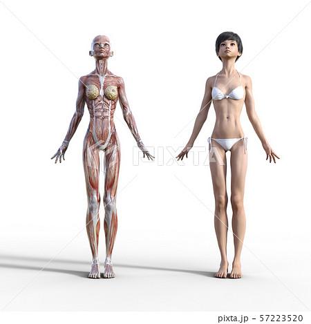 女性 解剖 筋肉 3DCG イラスト素材 57223520