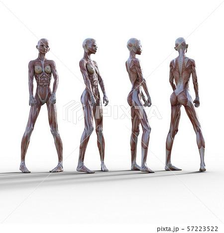 女性 解剖 筋肉 3DCG イラスト素材 57223522