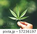 marijuana leaf with cbd thc chemical structure 57236197