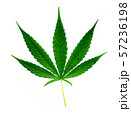 fresh green marijuana leaf isolated 57236198