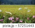 コスモスと秋の稲穂 田園風景 57251443