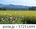 コスモスと秋の稲穂 田園風景 57251444