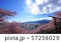まつだ桜まつり 河津桜 57256029