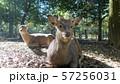 奈良公園 鹿 57256031