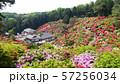 東京 青梅 塩船観音寺 つつじ祭り 57256034