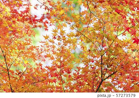 【日本の秋】京都の紅葉イメージ 57273579