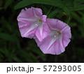 ピンクのヒルガオ 57293005