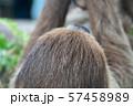 フタユビナマケモノ 57458989